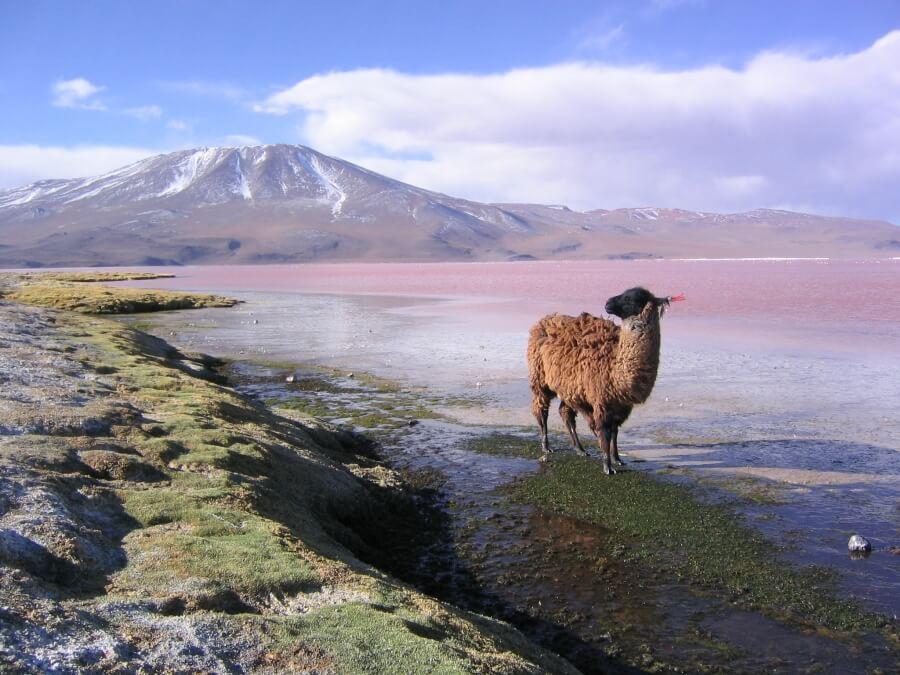 лама в Боливии