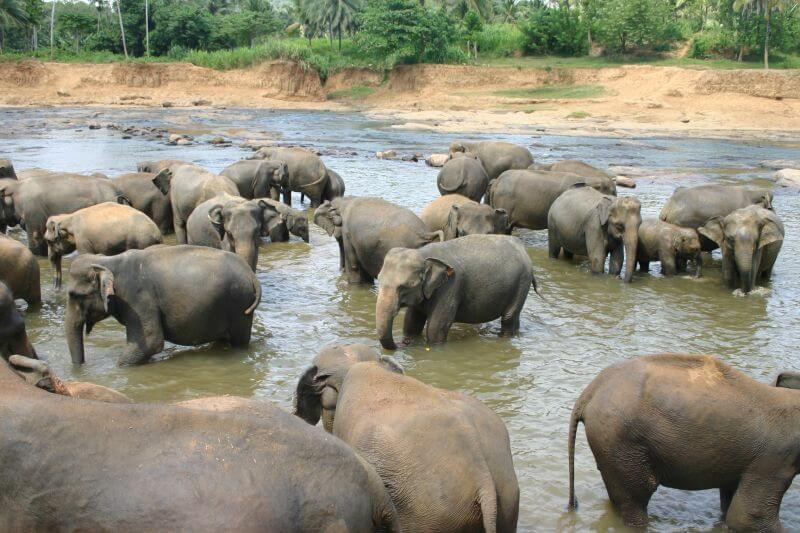купание слонов на Ланке