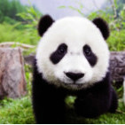 panda-life
