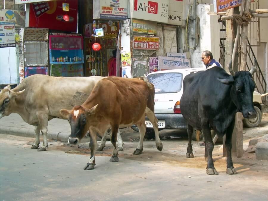 коровы на улицах Дели